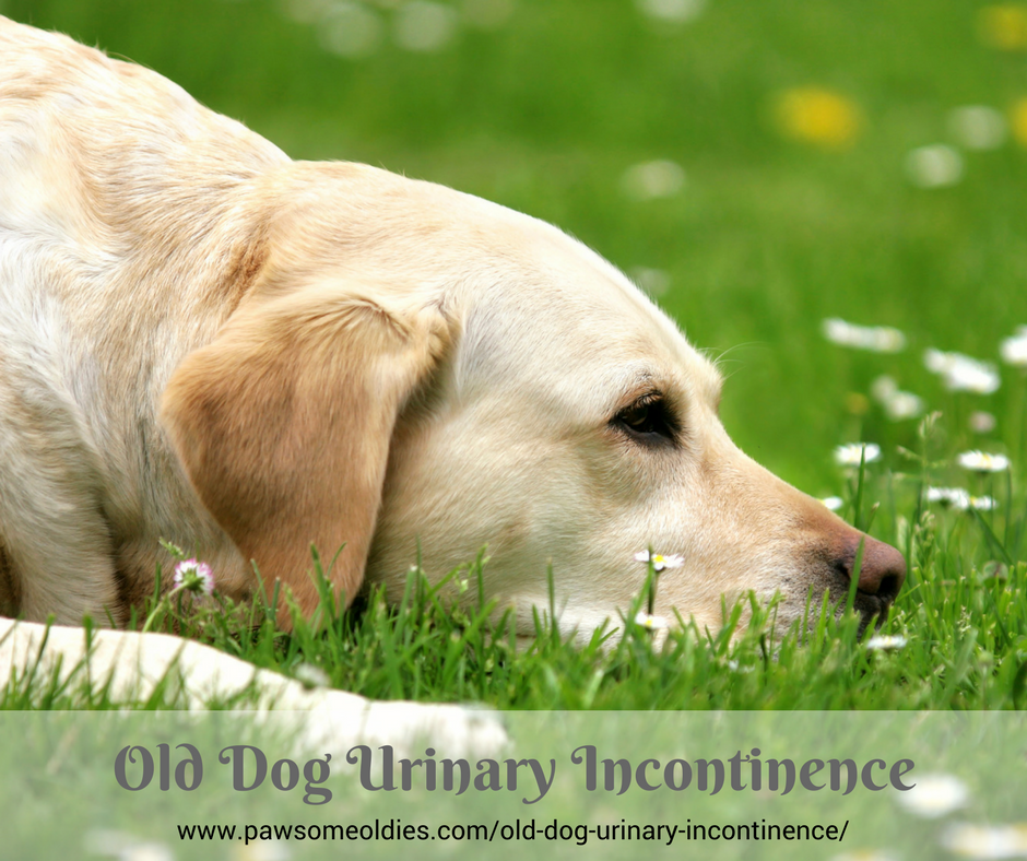 Old Dog Urinary Incontinence