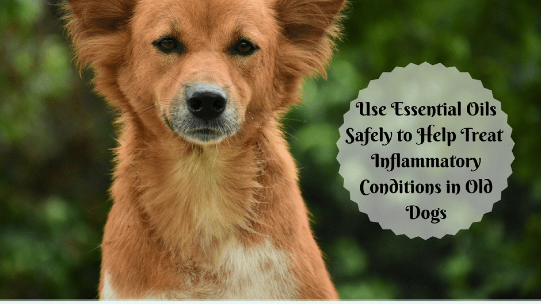 Anti-Inflammatory Essential Oils For Dogs